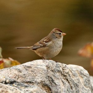 Field sparrows have increased in abundance in Illinois, but researchers found they lack sufficient habitat to reach state population goals. ©Michael Jeffords and Sue Post