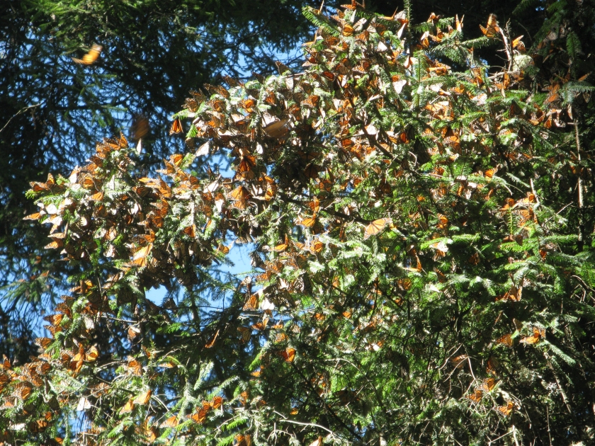 Monarch butterflies migrate to the same forested area in central Mexico every year. This gives scientists a convenient opportunity to measure the size of the population. Photo by Royce Bitzer